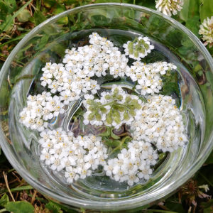 making yarrow flower essence