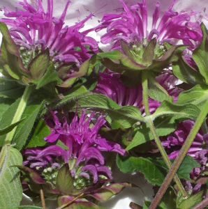 bee balm flowers