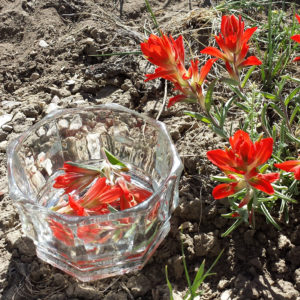 Indian Paintbrush essence