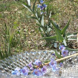 penstemon flower essence
